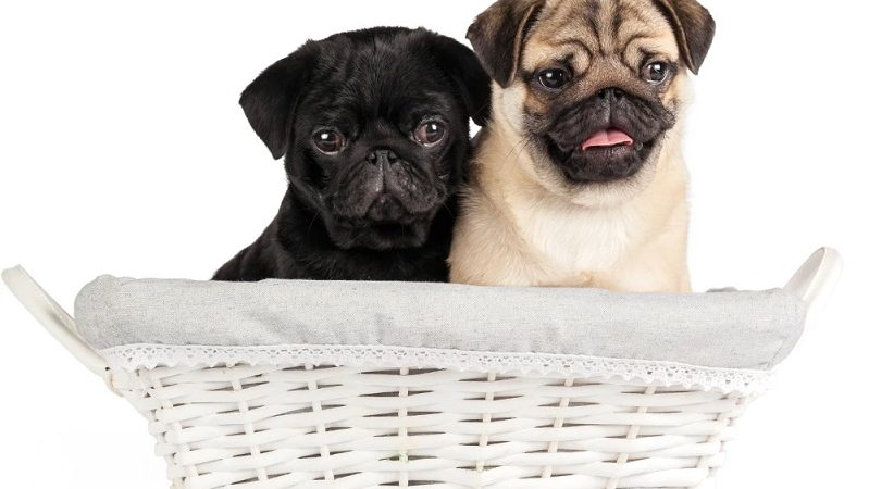 Are you buying a French bull dog? Know how good your decision is